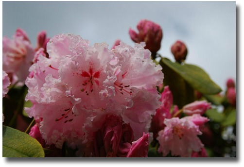 Rhododendron Gardens in Olinda in Melbourne - Australia compliments of http://www.flickr.com/photos/avlxyz/5008300110/