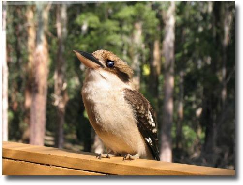 Australian Laughing Kookaburra