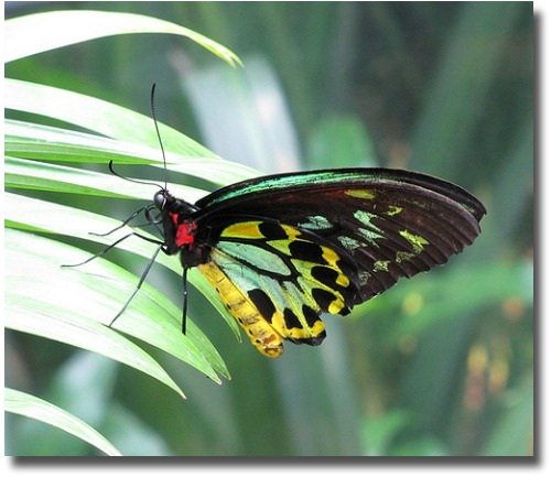 Male Cairns Birdwing Butterfly compliments of http://www.flickr.com/photos/bycp/5549883162/