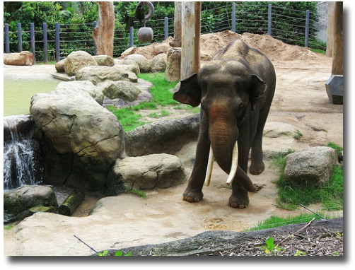 Melbourne Zoo Baby Elephant compliments of http://www.flickr.com/photos/glittercake/4981981805/