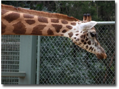 Melbourne Zoo's Giraffe compliments of http://www.flickr.com/photos/themachobox/4171539080/