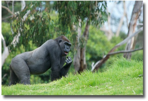 Gorilla At The Melbourne Zoo compliments of http://www.flickr.com/photos/rantz/6707218661/