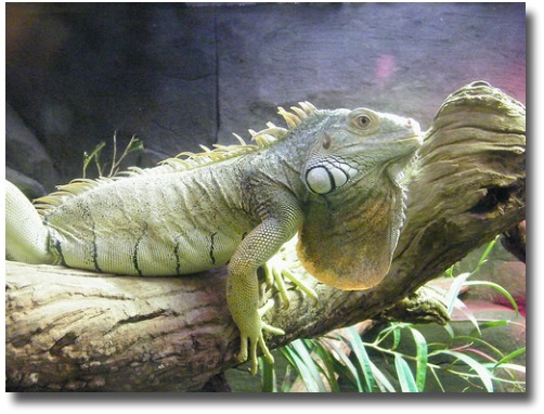 Reptile House Green Iguana - Melbourne Zoo compliments of http://www.flickr.com/photos/zayzayem/3497267106/