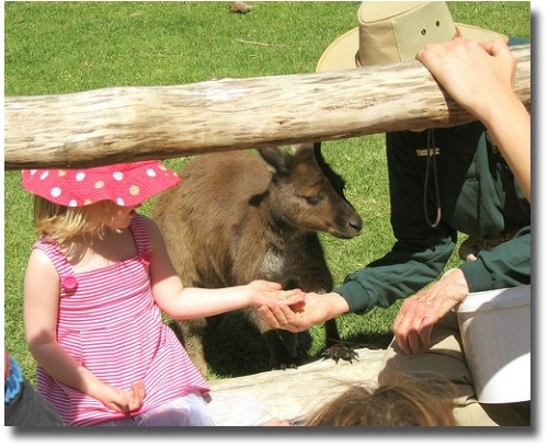 Feeding The Kangaroo At The Melbourne Zoo compliments of http://www.flickr.com/photos/m-gem/2611641128/