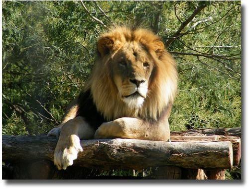 Melbourne Zoo Lion compliments of http://www.flickr.com/photos/zayzayem/3496350483/