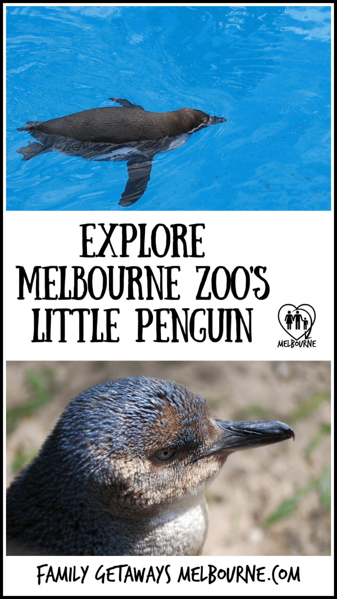 image of the little blue penguin at the zoo