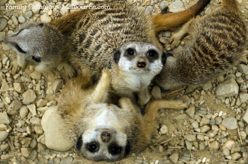Melbourne zoo meercats