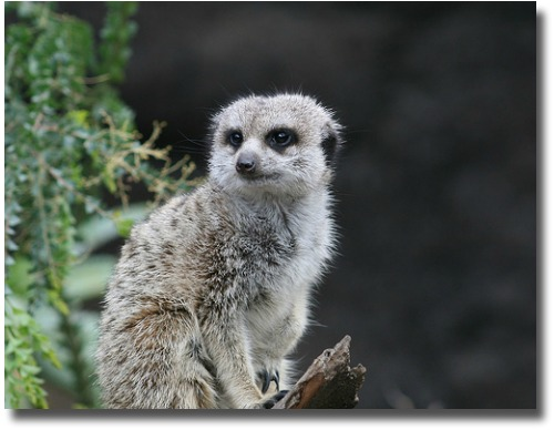 Little Meerkat at the Melbourne Zoo in Australia compliments of http://www.flickr.com/photos/furious-angel/1016091885/