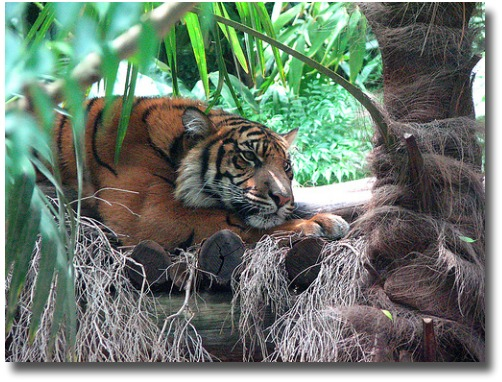 Melbourne Zoo's Sumatran Tiger compliments of http://www.flickr.com/photos/kitschkitten/2249667271/