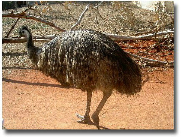 Emu enclosure at the Moonlit Sanctuary, Mornington Peninsular