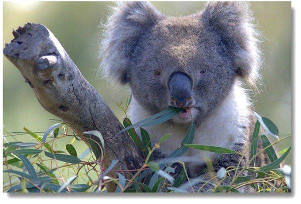 Moonlit Sanctuary Koala compliments of http://www.flickr.com/photos/lauri_vain/4043133868/