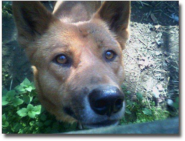 Australian Dingo compliments of http://www.flickr.com/photos/partnerhund/39873257/