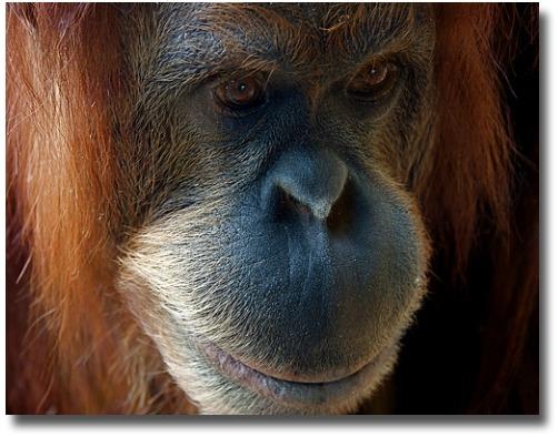 Kiani, the orangutan at the Melbourne Zoo Australia compliments of http://www.flickr.com/photos/macinate/2408799167/
