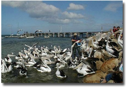 Feeding The Pelicans At Hastings
