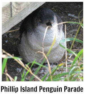 Link to site page on the Penguin Parade on Phillip Island tour