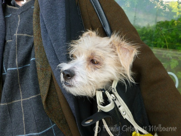 Dog in travel bag