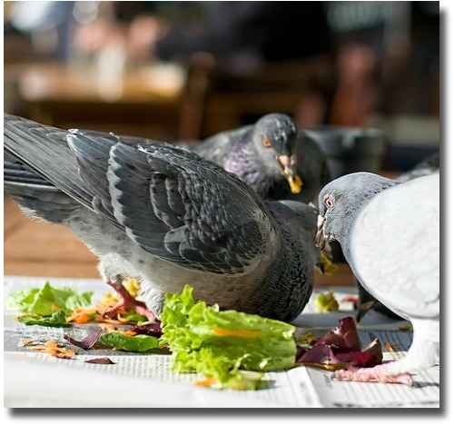 Pigeons eating leftovers at Lentils as Anything compliments of http://www.flickr.com/photos/vermininc/3548719960/
