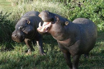 Endangered Pygmy Hippopotamus