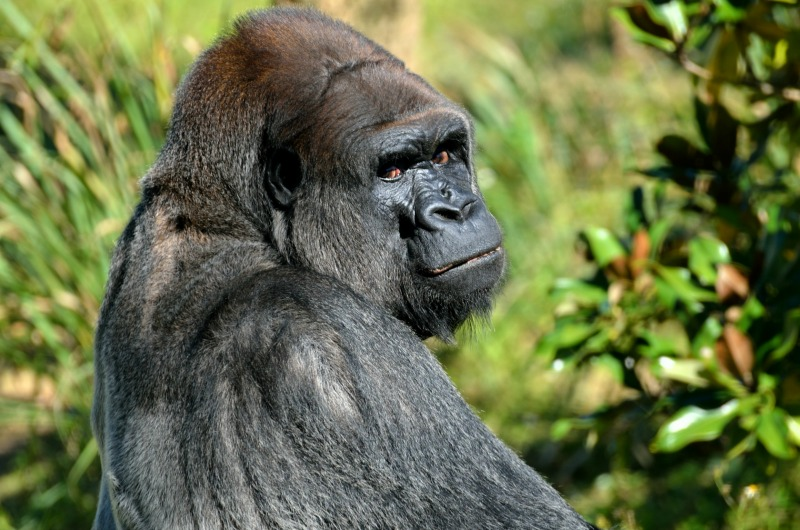 Melbourne Zoo lowlands silver back gorilla