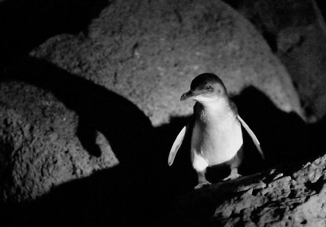 St Kilda breakwater penguin compliments of https://flic.kr/p/65e1oT