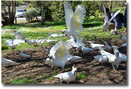 Sulphur crested Cockatoos Maroondah Dam Melbourne Australia compliments of http://www.flickr.com/photos/avlxyz/8018662014/