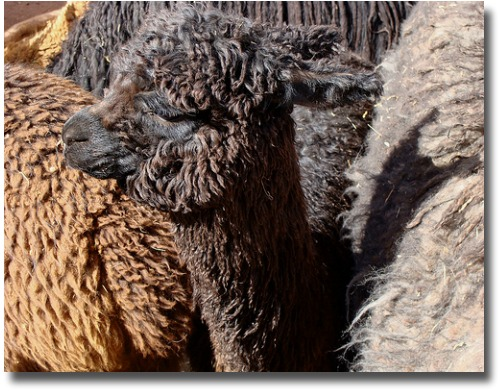 group of Alpacas compliments of http://www.flickr.com/photos/julia_manzerova/2758710480/in/photostream/