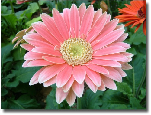 Pink gerbera compliments of http://commons.wikimedia.org/wiki/File:Gerbera_pink.jpg - w:id:Midori released on 10. May. 2006 09:51 UTC under the CC-BY-SA-2.0 and GFDL