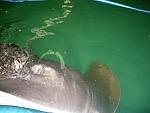 Black Stingray at the Shark and Stingray Centre