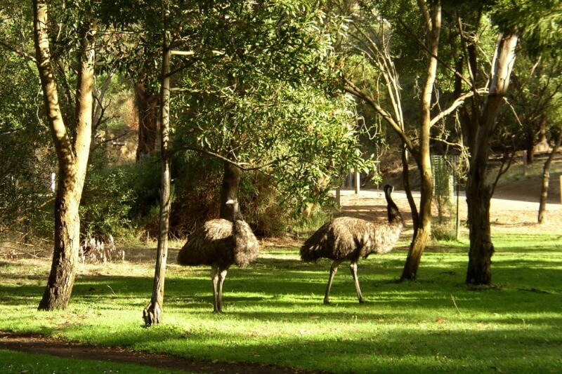 Emus in the Tower HillState Game Reserve by Vlado Plaga - CC BY-SA 3.0, https://commons.wikimedia.org/w/index.php?curid=754802
