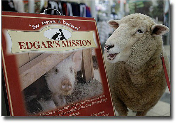 One lucky sheep who now lives at Edgars Mission in Melbourne Australia