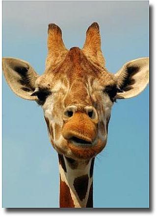 Werribee Open Plains Zoo Melbourne Australia Giraffe