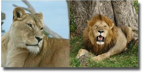 Male And Female Werribee Zoo Lions