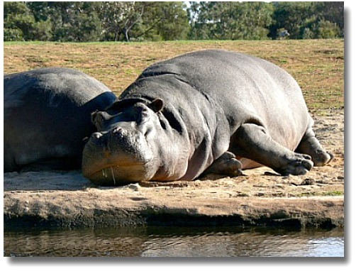 Hippopotamus At The Werribee Open Plains Zoo