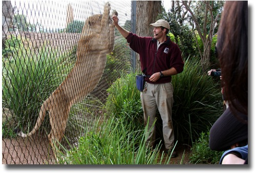 feeding a hungry lion at the Werribee Open Range Zoo compliments of http://www.flickr.com/photos/jhecking/4700479646/