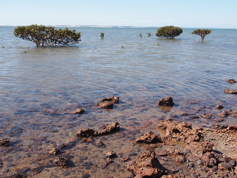 Mangroves in Westernport Bay at Hastings in Victoria, Australia compliments of https://flic.kr/p/98fSsr