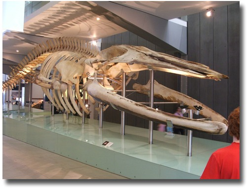 Pygmy Blue Whale skeleton at the Melbourne Australia Museum compliments of http://www.flickr.com/photos/tomhaines/457377118/