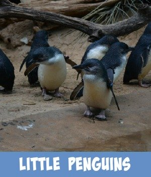 image link to site page on little penguins
