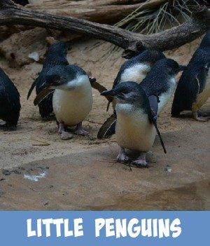 Site page on Melbourne Zoo's Little blue penguins