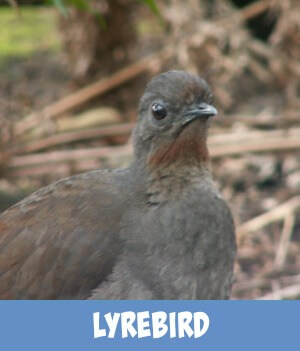 thumbnail link to site page on the Australian lyrebird