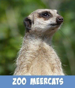 Site page on Melbourne Zoo's meerkats