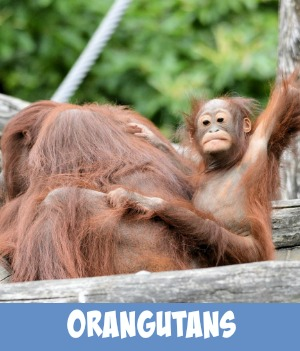 thumbnail link to site page on endangered orangutans