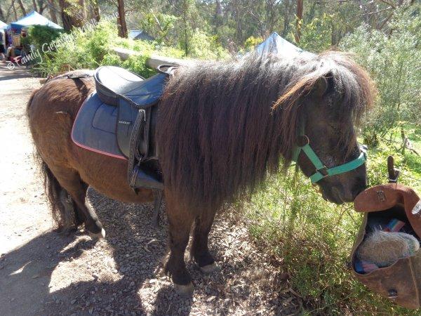 Pony rides at the St Andrews Market