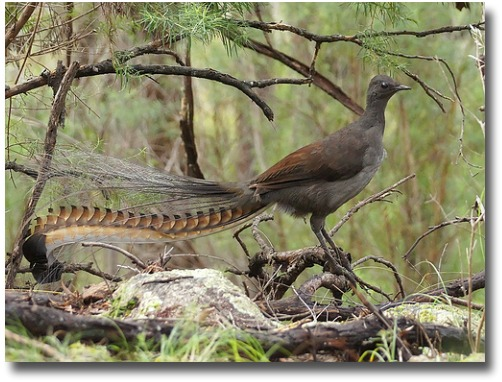 The superb lyrebirds tail feathers extended compliments of http://www.flickr.com/photos/kookr/5875835739/