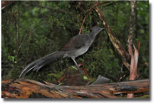 Nesting lyrebird compliments of www.flickr.com/photos/kookr/5875835739/