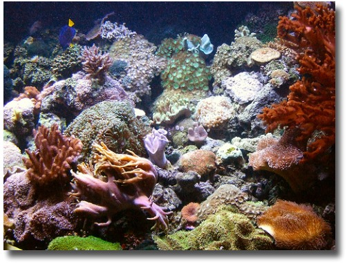 Coral Atoll at the Oceanic Melbourne Aquarium Melbourne Australia compliments of http://www.flickr.com/photos/frostnova/362258849/