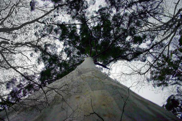 Australian drop Bear rooftop tree habitat
