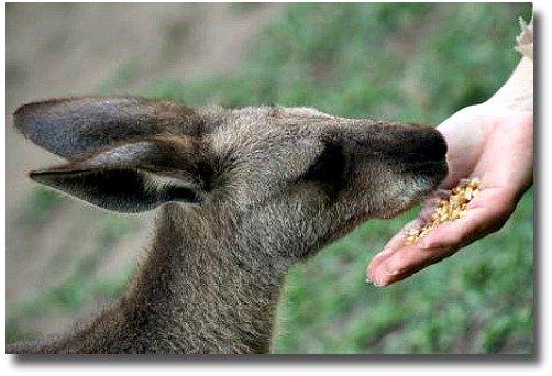 Feeding the Bush Kangaroo at the Healesville Sanctuary Melbourne Australia