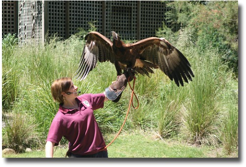 Wedge tailed eagle at the Healesville Sanctuary compliments of http://www.flickr.com/photos/richard_jones/1883678743/