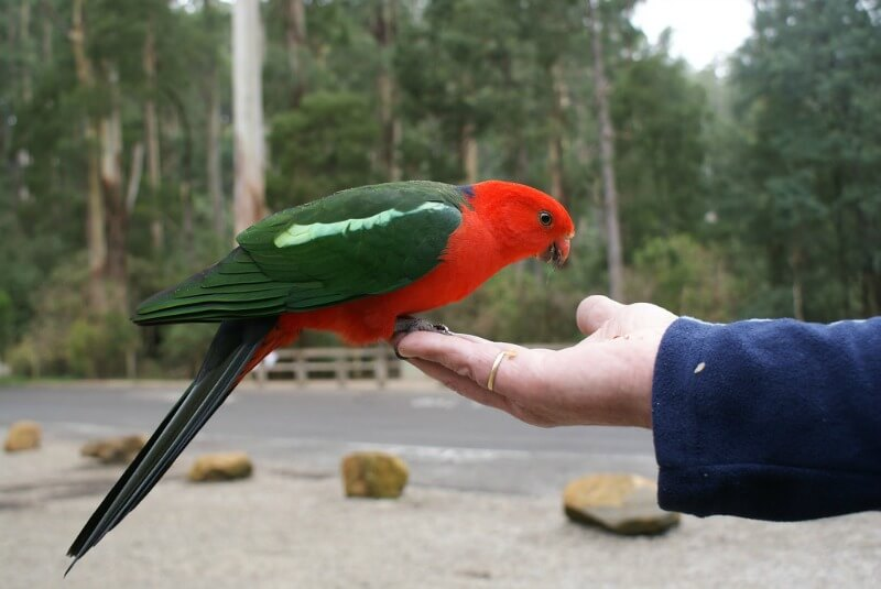 Feeding one of the birds of Australia- the king parrot compliments of http://www.flickr.com/photos/andy_emcee/3512044941/in/photostream/