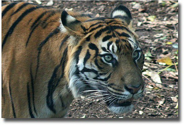 Melbourne Zoo Critically Endangered - Sumatran Tiger compliments of http://www.flickr.com/photos/safetypinheart/5117018115/
